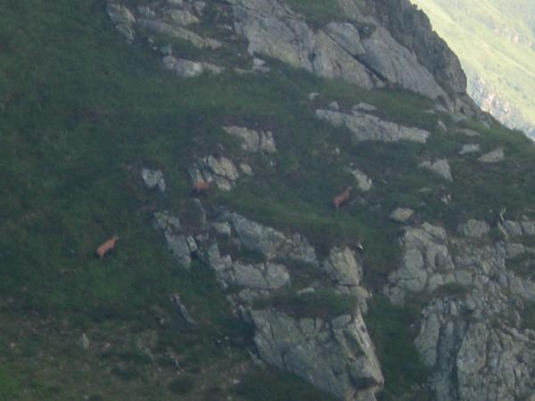capre-negre-in-muntii-fagaras-1-600x450