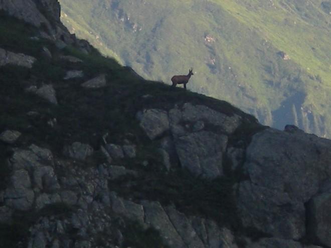 capre-negre-in-muntii-fagaras-2-660x495
