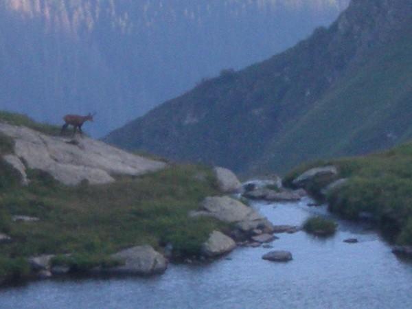 capre-negre-in-muntii-fagaras-3-600x450