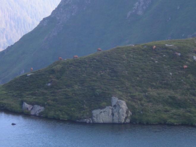 capre-negre-in-muntii-fagaras-4-660x495