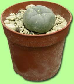 ghid crescut cactus peyote