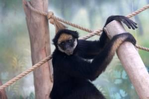 belzebuth monkey